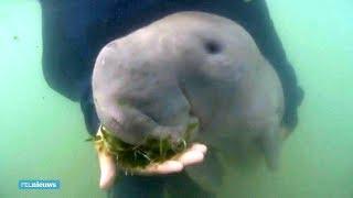 Ondanks reddingspogingen Thaise zeekoe toch overleden