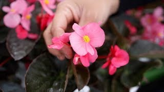 Excited to Plant Surefire Rose Begonia! It's Going to be Gorgeous! 💗😍🙌