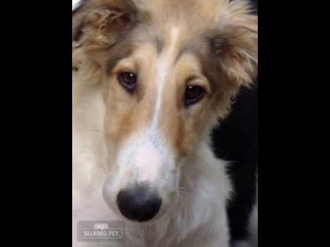 Talking Borzoi Puppy Named Beau