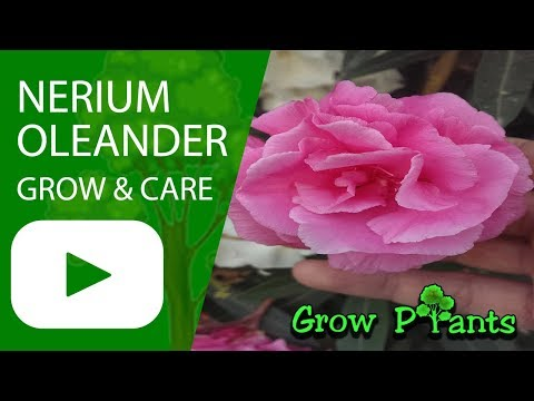 Nerium oleander - grow & care