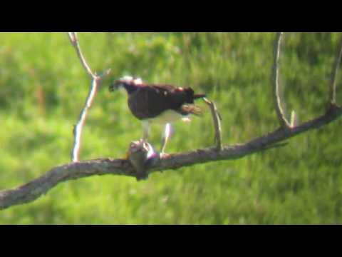 Osprey eating fish Perryville, Kentucky Boyle County KY