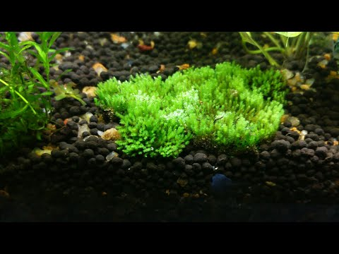 How To Plant Land Moss In An Aquarium 🌱