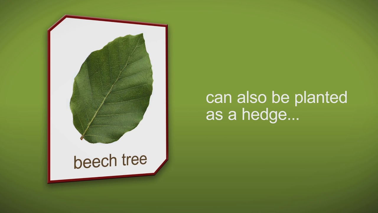 How to plant a Beech Tree by Heathwood Nurseries - YouTube