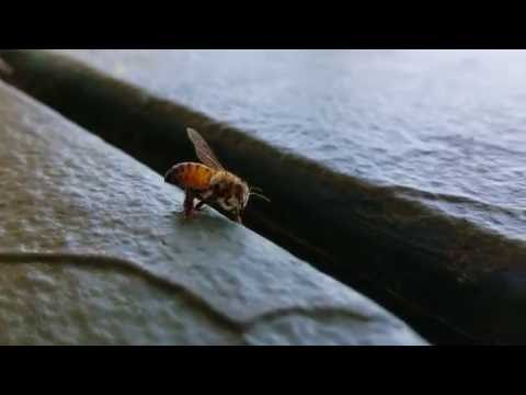A bee, recovering from nearly drowning in soda