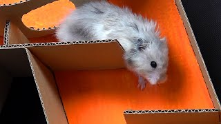 7-level Hamster Maze Speed Race - Is It Possible?