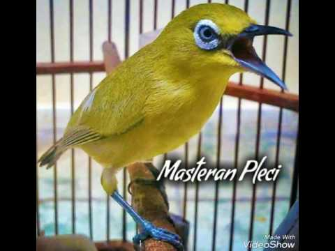 Download suara burung pleci mp3 FULL isian