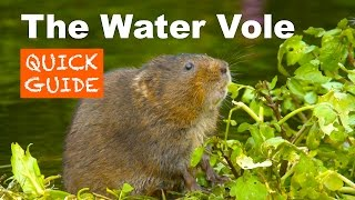 The Water Vole - A Quick Guide