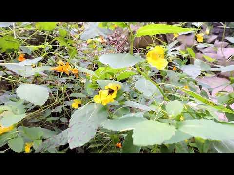 Capital Naturalist: Bumblebee on Jewelweed
