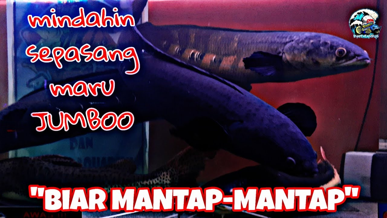 Pindahin Channa Maru Jumbo Buat Proses MANTAP-MANTAP