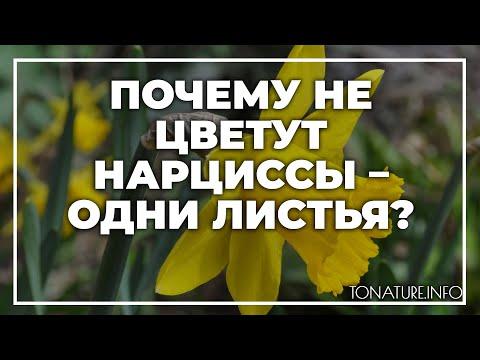 Почему не цветут нарциссы – одни листья? | toNature.Info