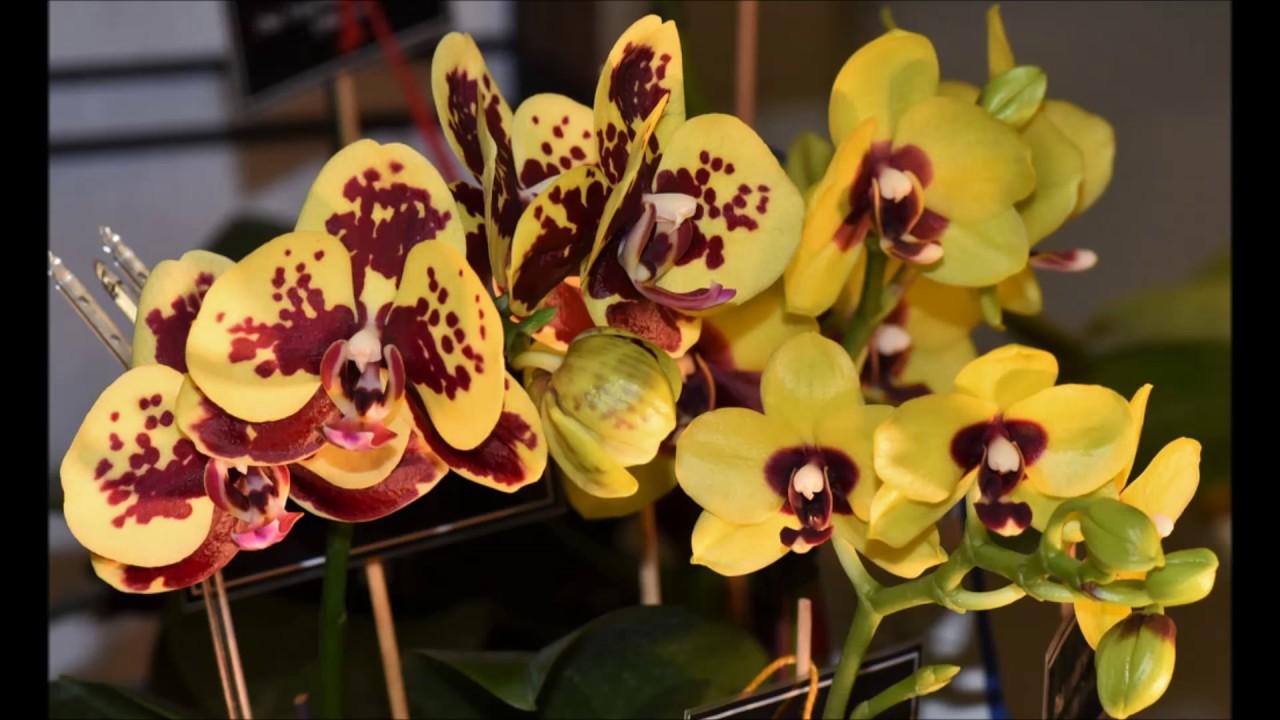 yellow phalaenopsis orchids youtube