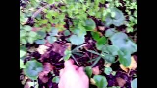 Копытень трава