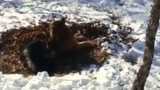 Тигр Амур и Козел Тимур поссорились