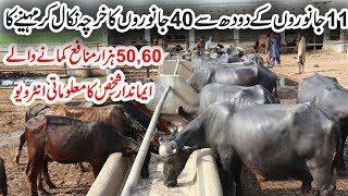 Maqsood Mix Dairy Farm in Pakistan | Buffaloes Farming | Cows Farming | Dairy Farming in Pakistan