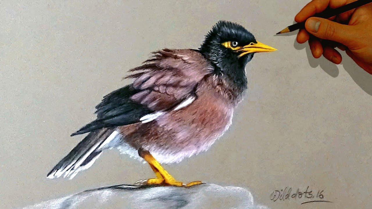Mayna bird drawing a mayna bird with simple colored pencils