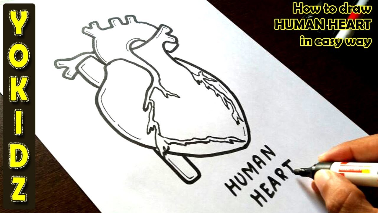 How to draw HUMAN HEART in easy way - YouTube