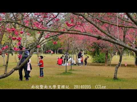 南投暨南大學賞櫻記  Cherry blossom in JNU campus Taiwan 20140205