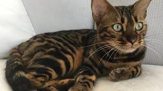 Bengal/Bombai or Ocicat /The cat that looks like tiger