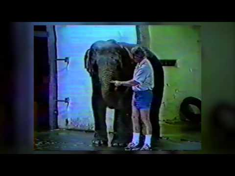 Cruel Training of Billy the Elephant at the Los Angeles Zoo