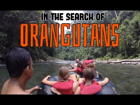 Jungle Trek with Orangutans in Sumatra