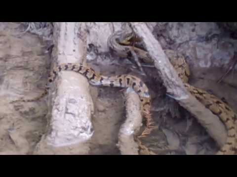 Diamond-back Water Snake