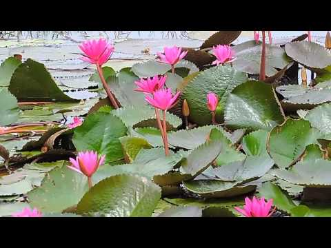 Ambal Poovu Fuchsia colored Nymphaea nouchali