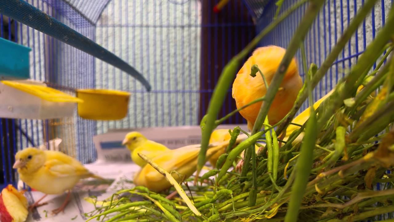 Canarios Criollos Comiendo Nabo Y Manzana 4k Qhd Youtube