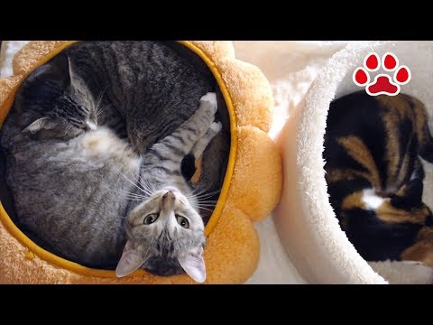 Too rough! I put the white bed next to the pumpkin.[Cats room Miaou]
