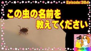 どうしてもこのダニっぽい虫の正体が知りたいです。もし、あのマダニな...