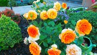 Розы для Доброго утра! Всем любви и хорошего дня!!!(Доброе утро всем, я еще в Волгодонске, снимаю видео во дворе дома своих подруг. Из цветов этот уголок засажен..., 2014-06-24T09:40:07.000Z)