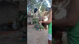 Como se matar galinha