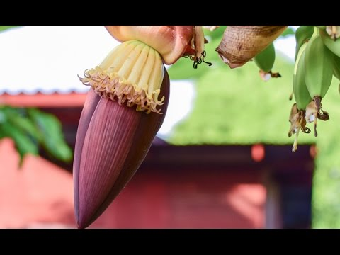 powerful health benefits of the banana flower