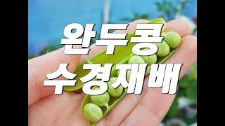 완두콩수경재배