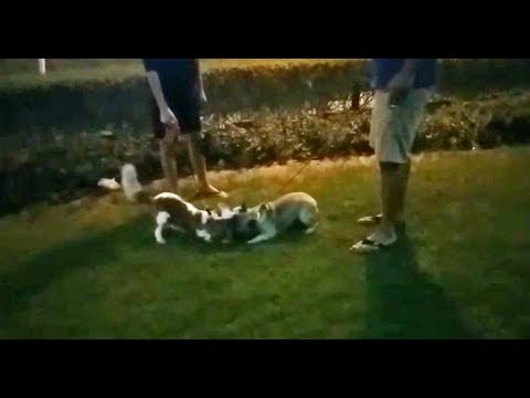 French Bulldog and Beagle Dogs Playing