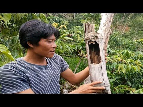 Burung kacer - Panen anak burung kacer alam liar di dekat hutan