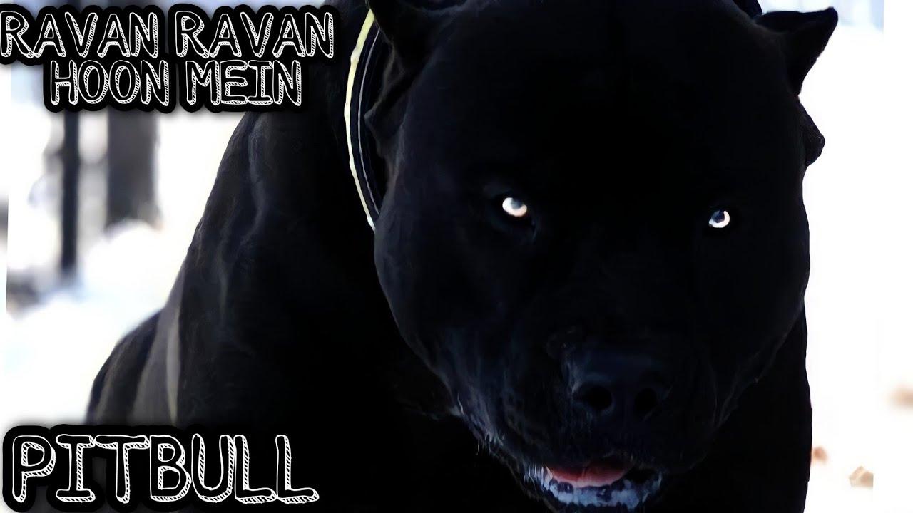BULLIES ❤️   RAVAN RAVAN HOON MEIN   GREEN SKY PRESENTS  #shorts #greensky #attitude #pitbull