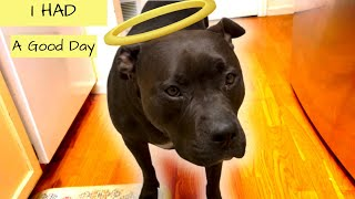 Another Afternoon For Mary The Pitbull Dog (Cute Funny Pitbull Dog)