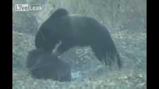 Bear Vs wild boar LiveLeakcom