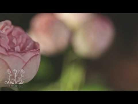 Роза Charming Piano (Новинка 2012) [ROSEN TANTAU]