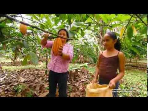 Cultivo de semillas de cacao y como se hace el chocolate youtube - Como se planta el bambu ...
