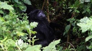 In Uganda i gorilla giganti sono una risorsa per l