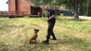 Optimum Canine Llc. Working K9 Knox With Verbal Marker Training
