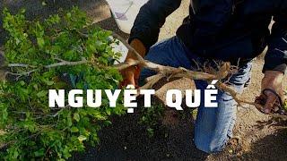 Cách trồng cây nguyệt quế ngoài đất không bị úng rễ || XPT VLOGS