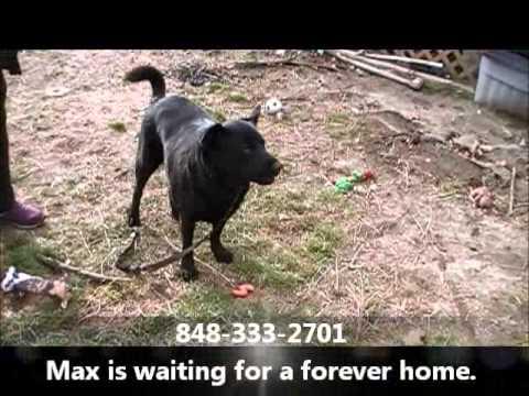 Max The Handsome Labrador/Shepherd Boy Leap Of Faith Animal Rescue Feb. 1, 2013