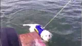 Yellow Lab climbing in and out of the boat for a swim.