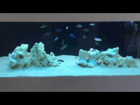 All Male African Cichlid Fish Tank and DIY cabinet
