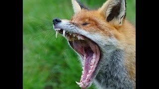 What does the Fox ACTUALLY say (complimation video)