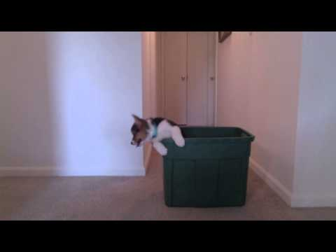 Corgi Puppy Adorably Escapes from Laundry Basket
