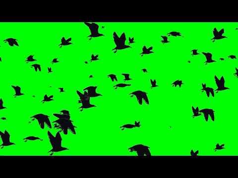 Летящие птицы на зелёном фоне |  Flying birds on a green background | chromakey