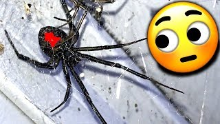 Redback Spiders Major Infestation Study Local Gym EDUCATIONAL VIDEO thumbnail